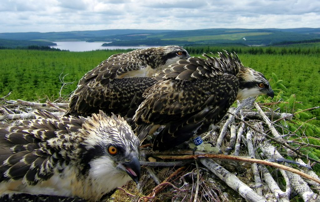 Three osprey chicks in Kielder Water and Forest Park, Northumberland, pictured by tree climbing ranger Paul Peckett after being returned to their tree top nest after being ringed.